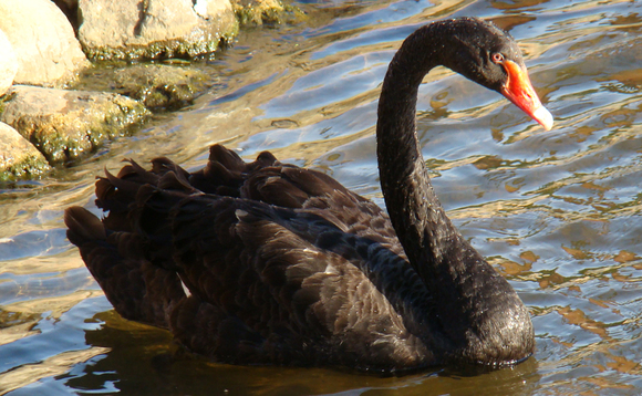 Brexit is the black swan in the market